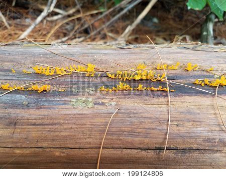 yellow fungus growing on rotting and decaying log