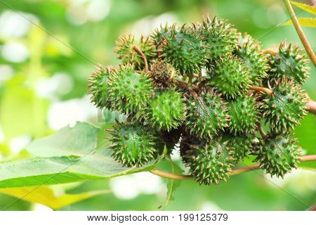 Castor oil plant on tree with nature