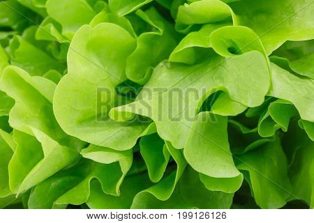Close-up picture of organic green lettuce leaves used as a background. A big bouquet of healthful salad leaves. Natural nutritious ingredients for diets. Natural summer harvest.