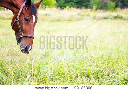 Soft focus. Portrait of a Bay horse in a meadow