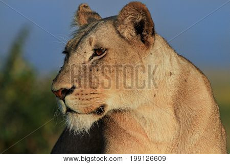 Side view of a lone lioness looking alert. She has lots of flies covering her face. Masai Mara Kenya
