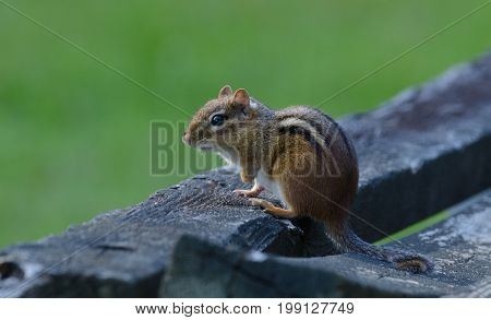 An Eastern Chipmunk (Tamias striatus) shown in left profile, sitting on a weathered wooden bench in Andover, Sussex County, New Jersey, USA.