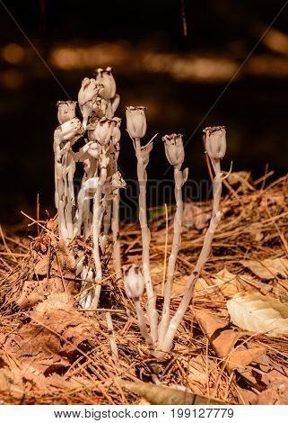 The Indian Pipe (Monotropa Uniflora),  also known as ghost plant, or corpse plant, is really a plant without chlorophyll, rather than the mushroom it appears to be. It is a herbaceous perennial plant native to temperate regions of Udmurtiya in European Ru