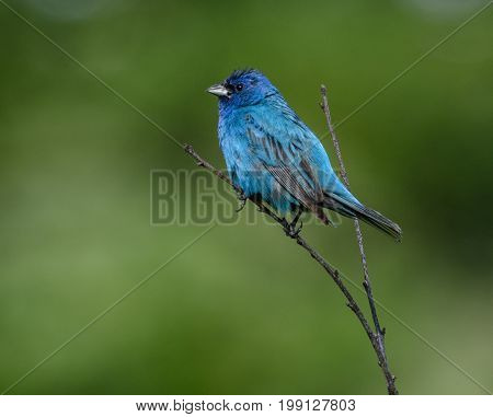 A Male Indigo Bunting (Passerina cyanea), a songbird, perched on a bare branch in left profile, against a blurred green background, in Andover, Sussex County, New Jersey, USA.