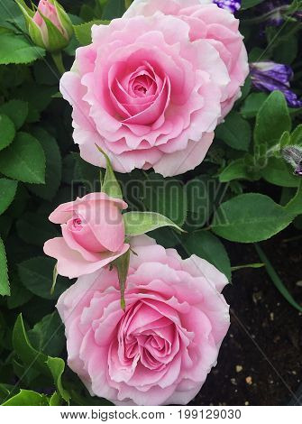 Beautiful tenderness pink roses in the summer garden