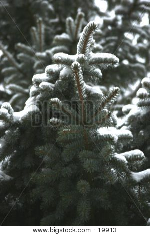 Pine Tree With Snow Bkg