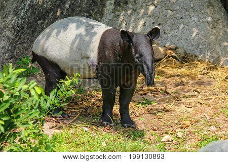 Close up image of Malayan tapir or Tapirus indicus in zoo