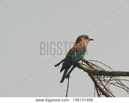 Indian roller (Coracias benghalensis) in central Nepal