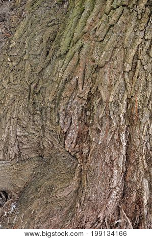 Aging willow tree bark texture as background