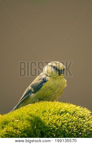 One Blue-tit With Yellow Chest Perched On Green Moss
