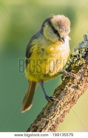 Single Baby Blue-tit Perched On Wooden Branch