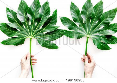Hands hold huge leaf of tropical plant on white background top view.