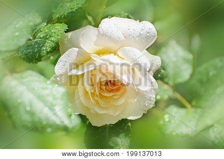 Flower Of Cream Rose In The Summer Garden. English Rose Crocus Rose Of David Austin.after The Rain.