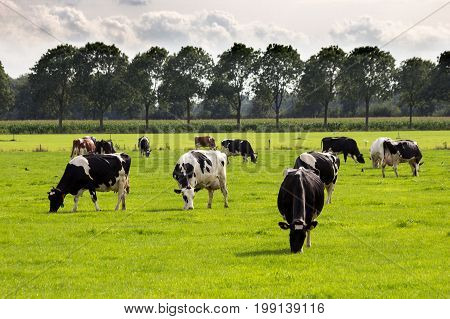 Black And White Cow Grazing Farm Cattle
