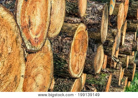 Chopped tree logs on a woodpile for the forestry industry