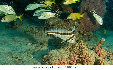 Jacknifefish