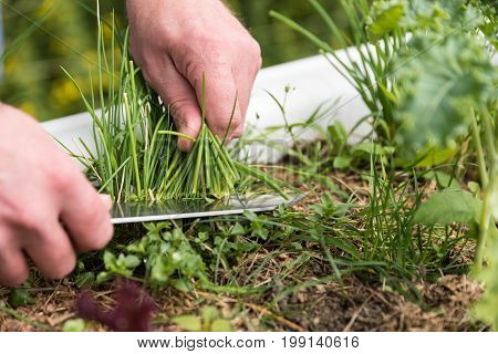 Person cutting chives in the garden with kitchen knife