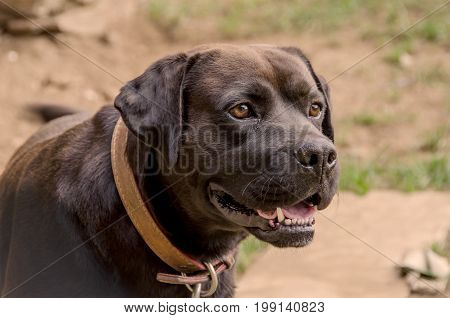 Aggressive Dog With A Leather Strap