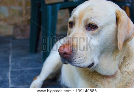 Detail On The Face Of A Labrador Dog