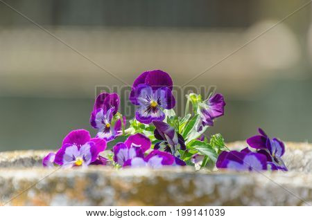 Violet Flower On The Garden Plantpot