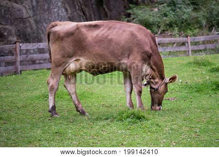 A cow on an alpine meadow is eating grass.
