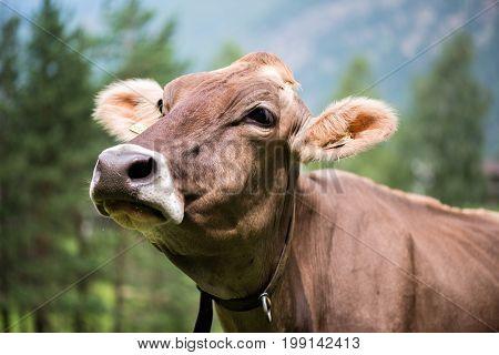 A portrait of a cow. Tyrol. Austria.