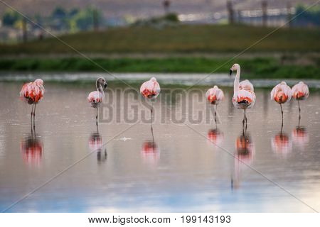 Birds are reflected on the surface of the water. Beautiful pink flamingos. A flock of pink flamingos in the lake. Pink flamingos stand in the water in the countryside.