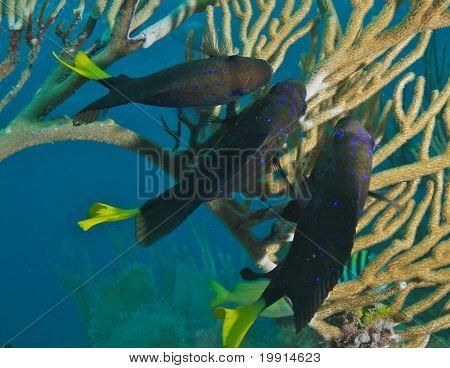 Trio of Yellowtail Damselfish