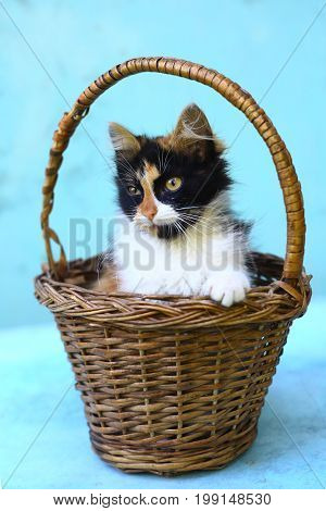three colored kitten in wicker basket close up photo on blue background