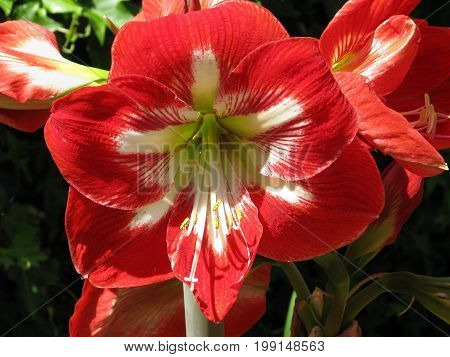 RED AND WHITE AMARYLLIS, WITH A DARK BACK GROUND
