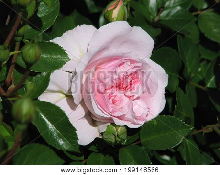 PINK AND WHITE ROSE, WITH GREEN LEAFED BACK GROUND 33ss