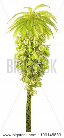 Flower of variegated pineapple lily (Eucomis bicolor) with seeds isolated on white background