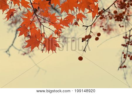Branches with red fall berries and maple leaves on blue sky background, retro toned