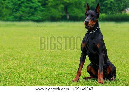 The dog breed Doberman Pinscher sits on a green grass