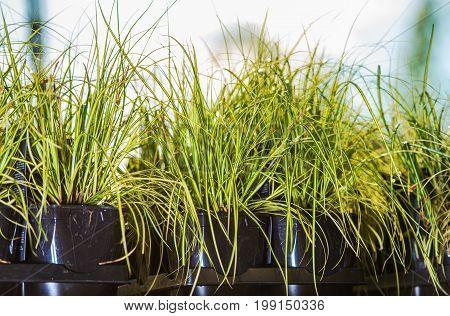 Decorative Garden Grasses in Flowerpots. Garden Store Rack with Plants For Sale.