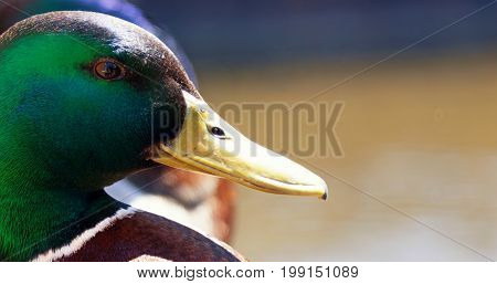 Mallard ducks sitting in a row close up and selective focus on the beautiful green head and eye of front duck. With space for text.