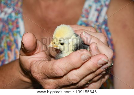 Baby Polish Chicken being held at the farm