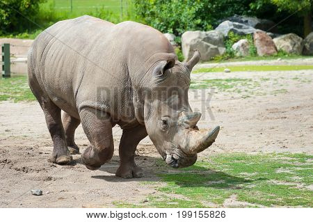 Southern White Rhinoceros On Natural Background