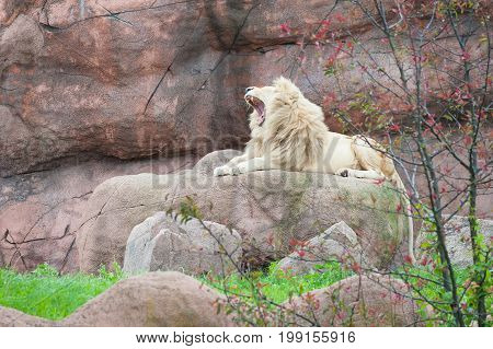 White lion in its natural habitat sits on a rock