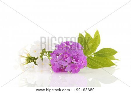 White and purple Phloxen isolated in studio