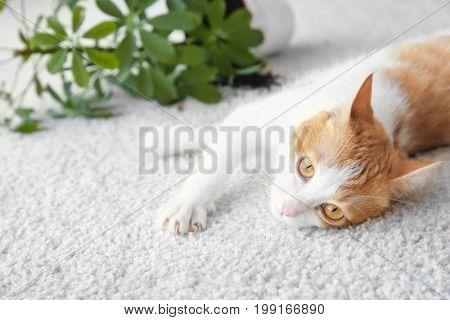 Cat lying near overturned house plant on light carpet