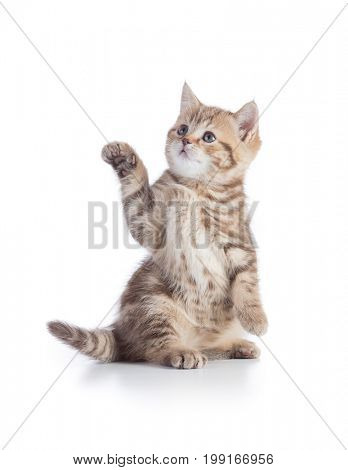 Kitten or cat standing with pointing paw isolated on white