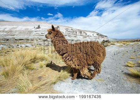 Llamas in Andes,Mountains, Peru