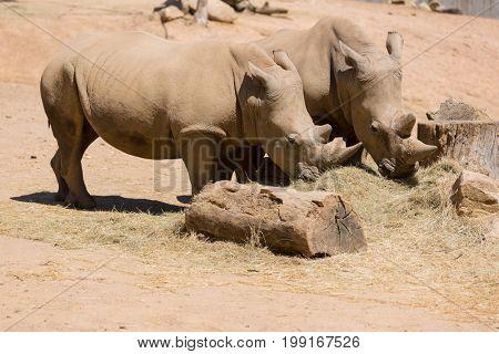 Two African wildlife rhinoceros