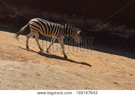 Zebra walking on the savanna