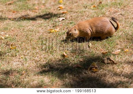 Black-Tailed Prairie Dog Cynomys ludovicianus Single adult eating grass