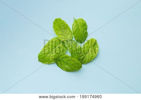 Green mint leaves on blue background. Mint herb.