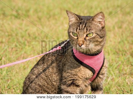Beautiful brown tabby cat in harness and leash with summer green background