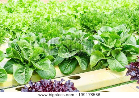 The Fresh of Hydroponic vegetable in farm.