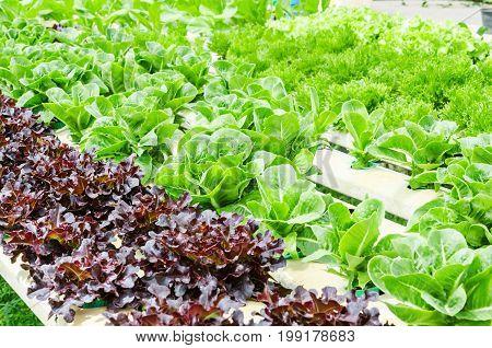The fresh Organic hydroponic vegetable cultivation farm.